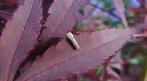 Winter Moth Caterpillar